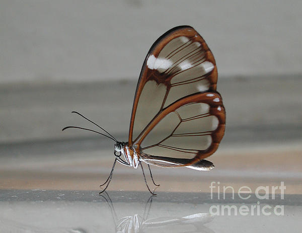 Rony Liang - Transparent wings butterfly