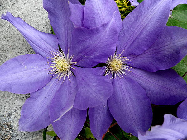 Kate Gallagher - Twin Clematis