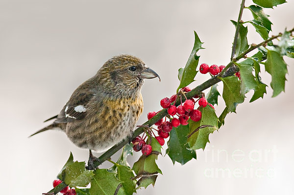 Jean A Chang - White-Winged Crossbill on Holly Branch