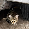 Trudy Brodkin Storace -      Two Cats Under Car