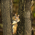 Christina Rollo -  Chipmunk Peek A Boo