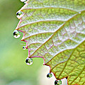 Lila Fisher-Wenzel -  Dewy Grape Leaf