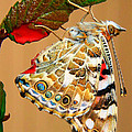David and Carol Kelly -  Painted Lady Butterfly