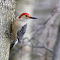 James Utton -  Red Belly woodpecker