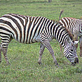 Tony Murtagh -  Zebra and Foal