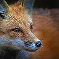 Jim Cumming - Algonquin Fox