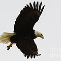 Bob Christopher - Bald Eagle In Flight