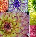 Dora Sofia Caputo - Beautiful Dahlias