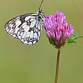 Mark Monckton - Beautiful Marbled White...