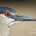 Bryan Keil - Black crowned night heron