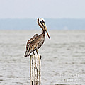 Scott Pellegrin - Brown Pelican