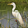 Al Powell Photography USA - Egret in the Cattails