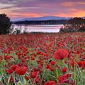 Guido Montanes Castillo - Field of poppies at the...
