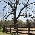 Cathy Lindsey - Georgia Gnarled Tree