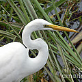 Al Powell Photography USA - Great Egret Close Up