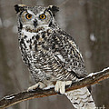 Inspired Nature Photography By Shelley Myke - Great Horned Owl...