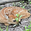 Duane Klipping - New Born Fawn