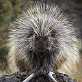 Elaine Haberland - Persnickety Porcupine