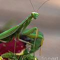 Robert Bales - Praying Mantis