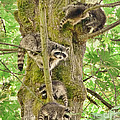 Jennie Marie Schell - Raccoon Family