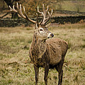 Linsey Williams - Red Deer Stag