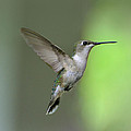 Amy Porter - Ruby Throated Hummingbird