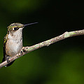 Christy Cox - Ruby-throated Hummingbird