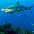 Aaron Whittemore - Reef Sharks