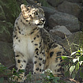 John Telfer - Snow Leopard on the Prowl