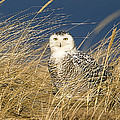 John Vose - Snowy Owl in the Dunes