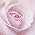 Jennie Marie Schell - Softness of a Pink Rose...
