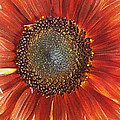 Kathy Bassett - Sunflower