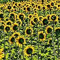 Allen Beatty - Sunflower Nirvana 26