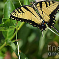 Ruth  Housley - Swallowtail Butterfly on...