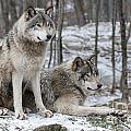Wolves Only - Timber Wolf Pair in...