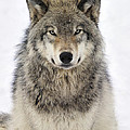 Tony Beck - Timber Wolf Portrait