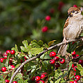 Chris Smith - Tree Sparrow
