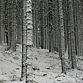 Pavel Jankasek - Trees Covered With Snow