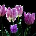 Wendy Thompson - Tulips in the Light...