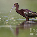 Bryan Keil - White faced ibis