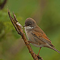 Paul Scoullar - Whitethroat