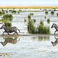 Carole-Anne Fooks - Zebra Crossing