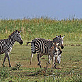 Tony Murtagh - Zebra Family