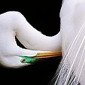 Paulette  Thomas - Great White Egret