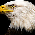 Tracy Munson - Bald Eagle