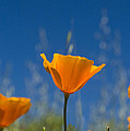 Rima Biswas - California Poppy