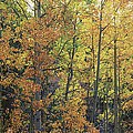 Brian Harig - Colorful Changing Aspens...