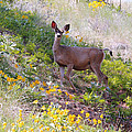 Athena Mckinzie - Deer in Wildflowers