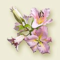 Jane McIlroy - Pink Lilies on Cream
