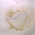 Jennie Marie Schell - Softness of a White Rose...